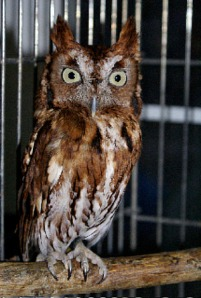 Twiggy the screech owl brought to you by Eclipse Recording Company